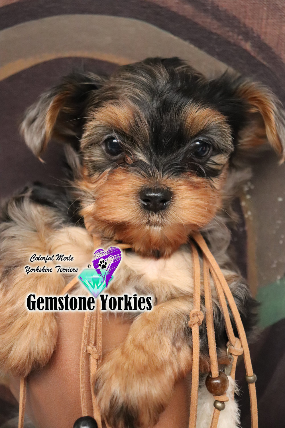 Gemstone Yorkies Blog - EXOTIC YORKIES*MERLE YORKIES BREEDER