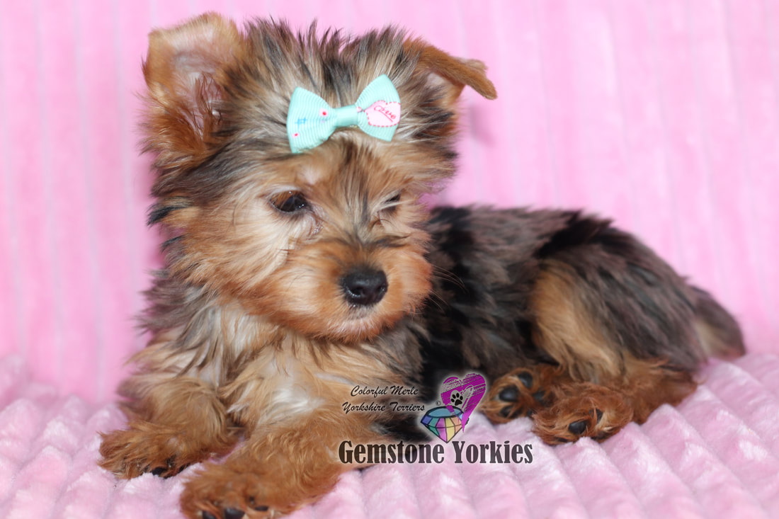 Exotic Colored Yorkies Merle Yorkie Puppies For Sale Merle