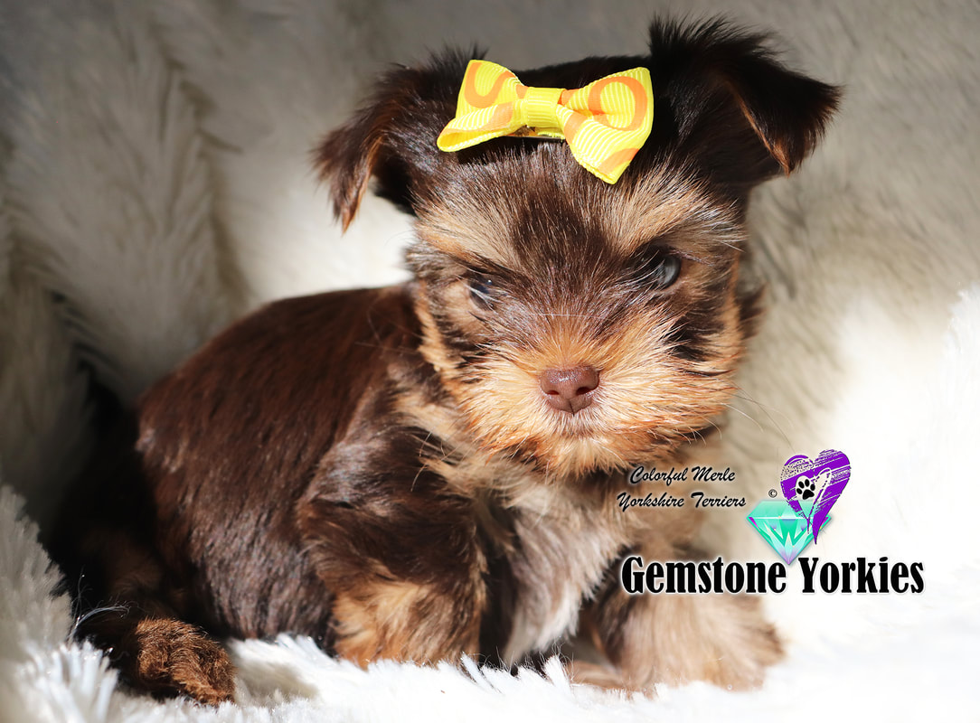 About Chocolate And Parti Colored Coat Yorkshire Terriers Gemstone Yorkies Boutique Exotic Rare Yorkies Merle Yorkies Breeder California Teacup Yorkie Puppies For Sale Colorful Yorkie Puppies Gold Blonde Yorkies Black Chocolate Blue Eyed Merle