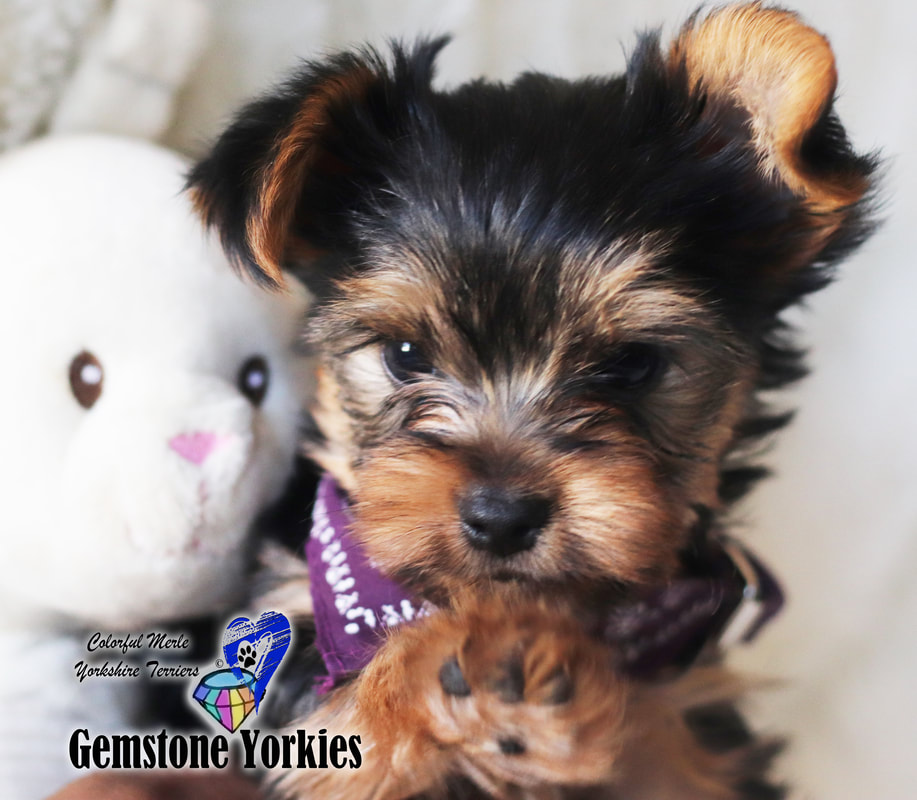 yorkshire terrier colors blue gold about different color yorkie coats and eyes colorful 1269